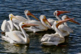 View of American White Pelican