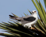 White-Tailed Kite resting