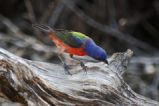 Painted Bunting on driftwood