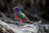 Beautiful image of a Painted Bunting