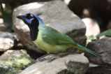 Green Jay perching on a rock