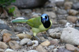 Front view of a Green Jay