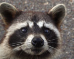 Close-up view of a Raccoon