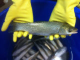 Grass carp (Triploid)