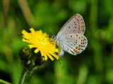 Karner blue butterfly on hawkweed