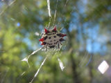 Spiny orb-weavers
