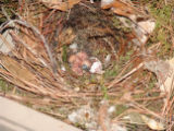 Carolina Wren hatchings