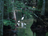 Egret and Ibis out for a stroll