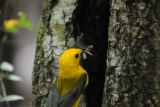 Feeding time for the Prothonotary Warbler