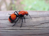 Velvet ant on a log