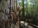 Mantis on tree in South Carolina