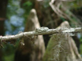 Camouflaged tree frog