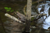 River frog perched on a branch