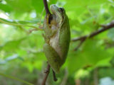 Squirrel tree frog hanging on a branch
