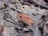 Toad sitting on a bed of leaves