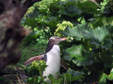 Yellow-eyed penquin in forest