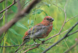 Pine Grosbeak juvenile