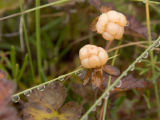 Cloudberry at Selawik National Wildlife Refuge