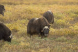 Muskoxen meander across the Arctic Refuge coastal plain