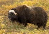 Close-up of a muskox at the Arctic National Wildlife Refuge