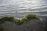 Eelgrass in water at Izembek National Wildlife Refuge