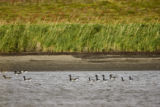 Flock of Black Brant at Izembek National Wildlife Refuge