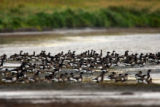 Black Brant gathering at water hole