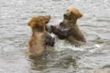 Two Kodiak bears playing in water at Kodiak National Wildlife Refuge