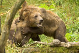 Kodiak Brown bear cubs playing