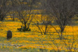 Mexican poppies in field at Buenos Aires National Wildlife Refuge