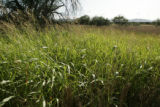Johnson grass in Buenos Aires National Wildlife Refuge