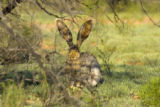 Jack rabbit at Buenos aires National Wildlife Refuge