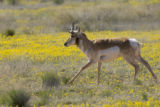 Pronghorn at Buenos Aires Natinal Wildlife Refuge