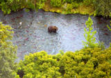 Aerial view of a brown bear fishing for salmon
