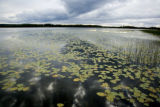Waterlilies on lake at Tetlin National Wildlife Refuge