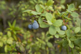 Alaskan blueberry on branch