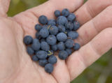 Holding Alaskan blueberries