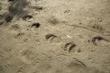 Bear tracks at Selawik National Wildlife Refuge