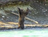 Bear standing up with paws facing outward