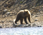 Bear at Kenai National Wildlife Refuge in Alaska
