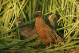 Group of masked bobwhite quails at Buenos Aires National Wildlife Refuge