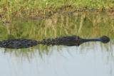 American alligator at Lacassine National Wildlife Refuge