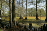 Cypress trees in Lacassine National Wildlife Refuge