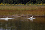 Swans at Potter Marsh