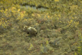 Camouflaged Brown bear