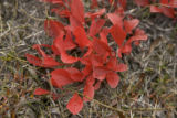 Red bearberry shrub