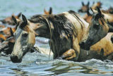Chincoteague Ponies at annual Assateague Island swim