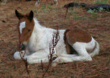 Resting foal at Chincoteague National Wildlife Refuge