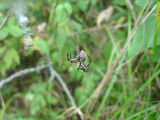Garden spider weaving web