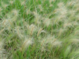 Squirrel-tail barley at Neal Smith National Wildlife Refuge